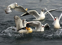 Hungry black-headed gulls Stock Image