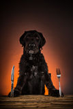 Hungry black mutt dog with fork and knife ready to eat dinner or lunch. Royalty Free Stock Images
