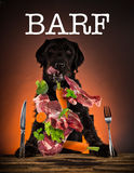 Hungry black mutt dog with fork and knife ready to eat dinner or lunch. Portrait photo Stock Image