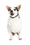 Hungry Black and White Chihuahua Crossbreed Dog Stock Images