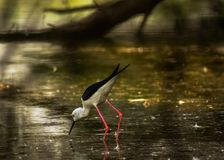 HUNGRY BLACK WINGED STILT. LOOKING FOR FOOD.BEAUTIFUL BLACK WINGED STILT HUNTING IN THE LAKE royalty free stock photos