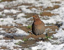 Hungry, blackbird at wintertime Royalty Free Stock Photo