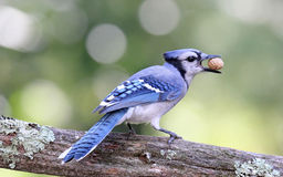 Hungry Blue Jay Stock Photography