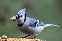 Hungry Blue Jay. A blue jay (Cyanocitta cristata) in Fall holding a peanut in its beak Royalty Free Stock Image