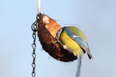 Hungry blue tit feeding on lard coconut Royalty Free Stock Images