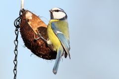 Hungry blue tit on hanging feeder Stock Photo