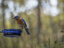 Hungry Bluebird Stock Photography