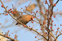Hungry Bohemian Waxwing Stock Photography