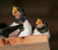 Hungry Brothers. Two barn swallow juveniles shouting for food Royalty Free Stock Photos