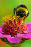 Hungry Bumble Bee Stock Photography
