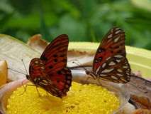 Hungry Butterflies. Butterflies fed nectar on sponges by man stock photos