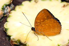 Hungry Butterfly Royalty Free Stock Photography