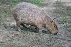 Hungry capibara Stock Photos