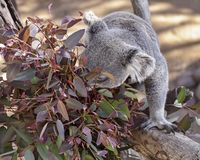 Cute Koala Bear Munching on Eucalyptus Leaves. A hungry captive koala bear munching on red eucalyptus leaves in a shady area stock photography