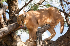 Hungry caracal Stock Images