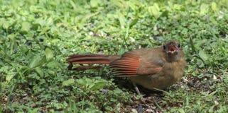Hungry cardinal imagem de stock royalty free