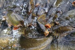 Hungry carp fishes Royalty Free Stock Image