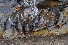 Hungry carp fishes Royalty Free Stock Photos