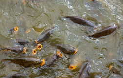 Hungry carps Stock Photography