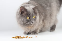 Hungry cat. Gray hungry cat eating and looking Royalty Free Stock Image
