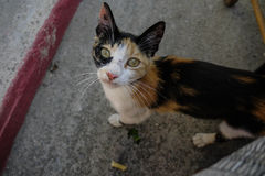 Hungry Cat. A hungry cat in Agia Marina, Crete, Greece Royalty Free Stock Images