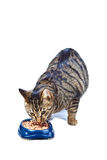 Hungry cat eating from the food bowl. Hungry tiger cat eating from the food bowl royalty free stock images
