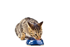 Hungry cat eating Stock Photography