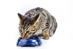 Hungry cat eating from the food bowl Stock Images
