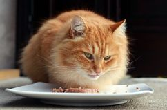 Hungry cat eating food Stock Image