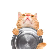 Hungry cat holding food bowl . Royalty Free Stock Photos