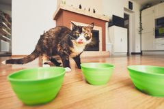 Hungry cat in the kitchen. Stock Photo