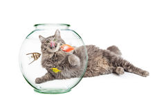 Hungry Cat Laying Behind Pet Fish Bowl. Curious and hungry cat laying behind a bowl of pet fish and licking her lips Stock Photos