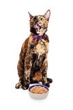 Hungry Cat Licking Lips With Food Stock Images