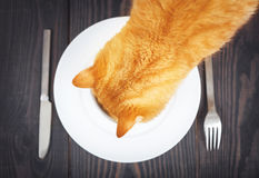 Hungry cat is looking for food in a plate. Stock Photo