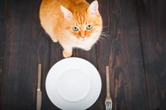 Hungry cat near an empty plate and cutlery. Royalty Free Stock Images