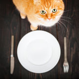 Hungry cat near an empty plate and cutlery. Royalty Free Stock Photography