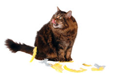 Hungry cat satisfied. On white background with feathers Royalty Free Stock Images
