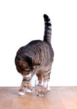 Hungry cat on table Royalty Free Stock Photos