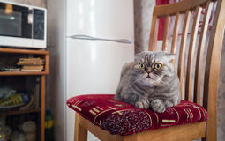 Hungry cat waits near refrigerator on chair. Royalty Free Stock Images