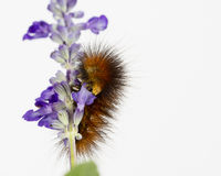 Hungry caterpillar eats purple flowers Royalty Free Stock Image