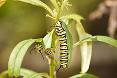 Hungry Caterpillars Royalty Free Stock Photography