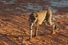 Hungry Cheetah. Royalty Free Stock Photo