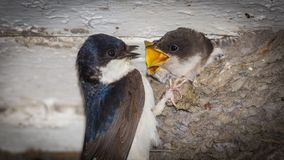 Hungry chick being fed. Hungry House Martin baby bird chick with mouth / beak open being fed by parent in mud nest Stock Images