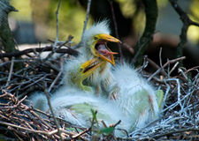 Hungry Chicks Royalty Free Stock Photography