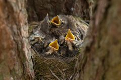 Hungry Chicks, baby birds with open beaks in the nest. In forest close-up stock images