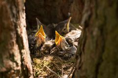 Hungry Chicks, baby birds with yellow beaks in the nest close-up. Baby birds with yellow beaks in the nest close-up in sunlight royalty free stock images