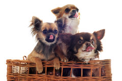 Hungry chihuahuas Stock Images