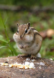 Hungry Chipmunk. Eating biscuits Stock Images