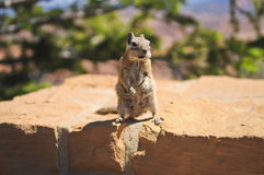 Hungry Chipmunk Royalty Free Stock Image