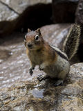 Hungry Chipmunk begging for food. On a mountain hike Stock Photos